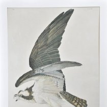 Image of Lithograph - Fish Hawk or Osprey
