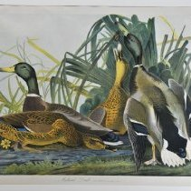 Image of Lithograph - Mallard Duck