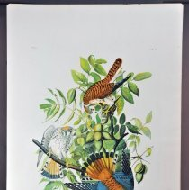 Image of Lithograph - American Sparrow Hawk