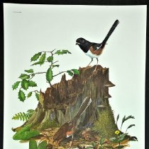Image of Print - Rufous-sided Towee, Plate No. XXX