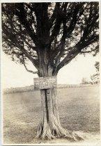 Image of Print, Photographic - Stonewall Jackson Tree, Manassas, Virginia