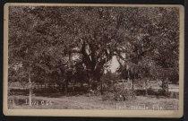 Image of Photograph, Cabinet - Live Oak, Fort Meade, Florida