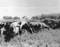 Image of Cattle - JMS DeKalb Co. 1837-1987 Collection