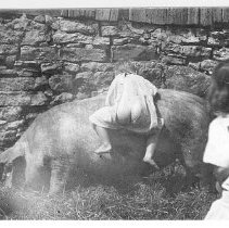 Image of Toddler and Hog - JMS DeKalb Co. 1837-1987 Collection