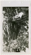 Image of Beehive in Tree in Butler, Indiana  - John Martin Smith Miscellaneous Collection