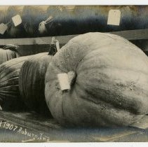 Image of Auburn Fall Festival 1907- Two Rows of Pumpkins with Tags - John Martin Smith Postcard Collection