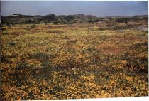 Image of 1986.327.003 - 1985 Meadows at Ano Nuevo by Frank Spadarella.  Color photograph mounted to a masonite wooden board.  Image depicts a large field of gold and yellow flowers with very low hills or dunes in the background.  Inscription text: