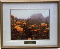 "Image of 1987.042.010 - Barn with Marigolds by Patricia M. Bolfing.  Color photograph mounted under glass beneath a white mat with a blue inner border inside a brown stained wooden frame.  Engraved brass plaque mounted to glass over bottom center of white mat reads, ""FRED GELLERT FOUNDATION  /  COLLECTION OF SAN MATEO COUNTY SCENES  /  PATRICIA BOLFING  /  BARN WITH MARIGOLDS  /  PRESENTED BY ART-RISE 1986.""  Image depicts a close-up view of orange marigolds with purple flowers and a gray barn in the blurred distance."