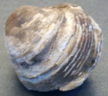 Image of 2014.009.016 - Cardium sp., cockle (clam) fossil dating from between 1.5 million years ago to .75 million years ago commonly found at low tide in littoral (sandy and muddy bottom) or sub-littoral (open bay, muddy marine) zones.  Fossil specimen is comprised of two shells sandwiched together.  Larger shell on top has distinct growth rings, with sediment filling the spaces between rings.  Smaller shell on underside surface also has growth rings, but are not as pronounced.  Dark brown sediment fills the space between the two and anchors them together.  Both shells are in varied shades of brown and beige.  Surrounding sediment also contains smaller shell fragments.