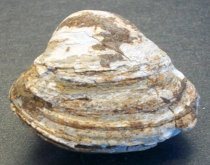 Image of Cardium sp.,Cockle (clam) Fossil
