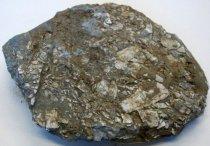 Image of Macoma nasuta, Bent-nosed Clam Fossil