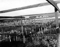Image of 2016.004.017 - Crysanthemum Farm on Woodside Road in Redwood City, c. 1935-1945