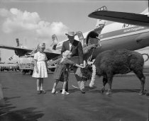 Image of 2015.001.02000.9 - Young Buffalo Being Shipped by United Airlines at SFO, c.1960s
