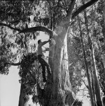 Image of 2015.001.04932.7 - Trimming Eucalyptus Trees in Burlingame, 1963