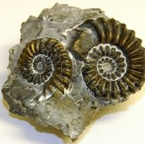 Image of Pyritized Jurassic ammonites in limestone.