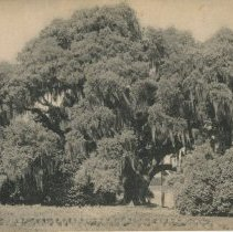 Image of Oak Tree at Middleton Place - early 20th c.