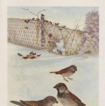 Image of Color plate-English Sparrows
