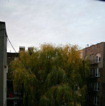 Image of Color photos, 2, of willow tree in backyard of 724 Willow Avenue, November 16, 2005. - Photograph