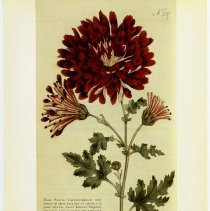 Image of pg [5]: 5. First Crysanthemum; illus. Dark Purple Crysanthemum, Stevens