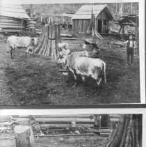 Image of Pigs and Cows, Difley Bolt Cam