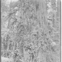 Image of 20 ft diameter tree