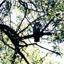 Image of 2010.61.246 - Owl in Tree
