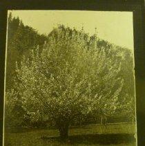 Image of 2011.2.120 - Cherry Tree