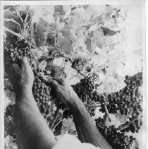 Image of 2011.61.1390 - Close-up of a pair of hands harvesting grapes.