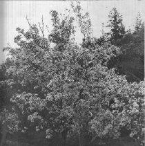 Image of 2013.2.155 - Pear tree at Melone Ranch