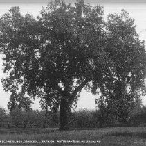 Image of 2013.2.156 - Oak tree and prune orchard at Melone Ranch