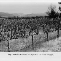 Image of 2013.2.83 - Phylloxera-infested vineyards in Napa County