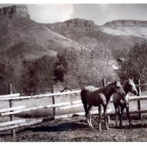 Image of Lu Holland's Palominos horses