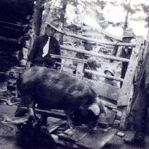 Image of Anthony Tripp feeding hog