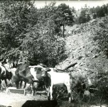 Image of Cows on the Jully Ranch