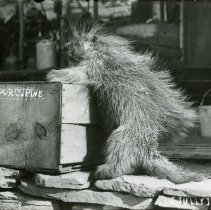 Image of Dead porcupine propped on box