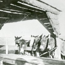 Image of Burros atop Castle Rock