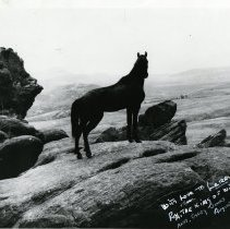 Image of Rex King of the Wild Horses