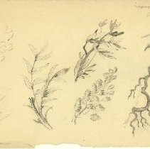 Image of Plant, Branch, and Leaf Sketch - Drawing