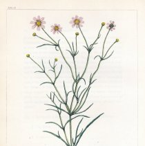 Image of V1 plate 12, Coreopsis rosea, WPC Barton