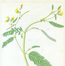Image of V1 plate 29, Aeschynomene hispida, WPC barton