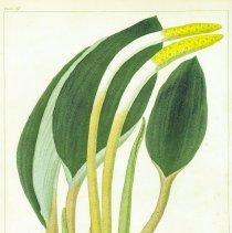 Image of V2 plate 37, Orontium aquaticum, WPC Barton