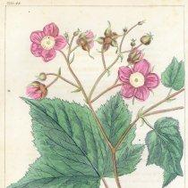 Image of Barton, William Paul Crillon - Scientific Prints - Botany