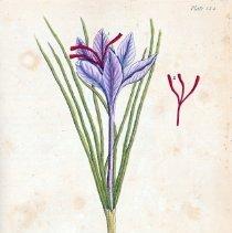 Image of V1, plate 144, Saffron (Crocus), Blackwell