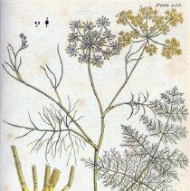 Image of Blackwell, Elizabeth (1707-1758) - Scientific Prints - Botany