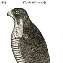 Image of Aldrovandi, Ulisse - Scientific Prints - Birds