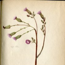 Image of Vernonia angustifolia. Iron weed.