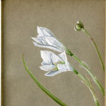 Image of Lilies. Nolina Georgiana. Sentless.