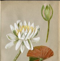 Image of Nymphaeaceae. Nymphaea alba odorata. White water lily.