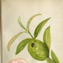 Image of Order  Myrtaceae Psidium. Fruit of the Guava Tree.