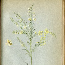 Image of Plant with Yellow and White Flowers.